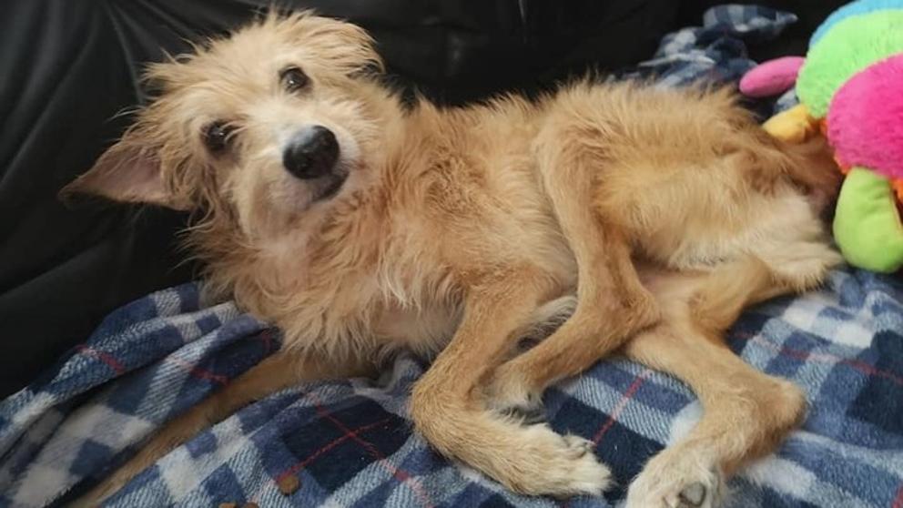 La terrible historia de Pincho, el perro que fue esclavo sexual durante cinco años