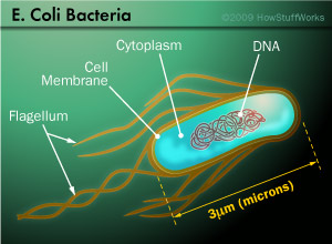 Resultado de imagen de bacteria e.coli